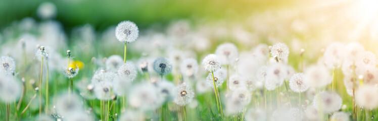 Obraz Meadow with lots dandelions in sunny day. - fototapety do salonu