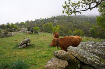 krajobraz góry krowy zwierzęta trawa  - fototapety na wymiar
