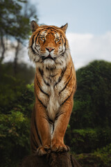 Bengal tiger is a Panthera tigris tigris population native to the Indian subcontinent, Standing on tree stump