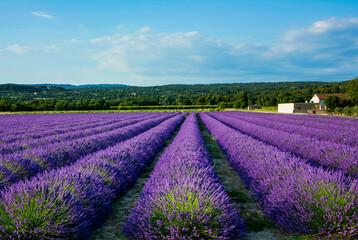 Fototapeta lawenda wąskolistna - lavender- pole lawendy -Lavandula angustifolia -lavender field obraz