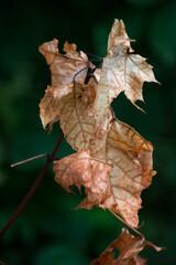 gałązka z uschniętymi brązowymi liścimi