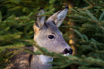 Roe deer in spruce forest, Capreolus capreolus. Wild roe deer in nature.