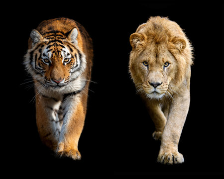 Close up male lion and Siberian or Amur tiger on black background
