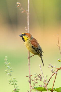 Plain-backed sparrow perching on a grass stalk