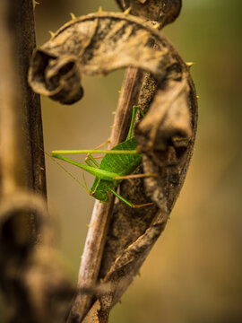Closeup of a grasshopper on a withered plant with blurry background