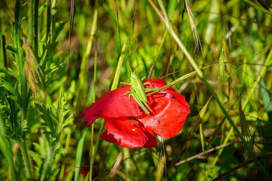Closeup of a grasshopper on corn poppy in a field