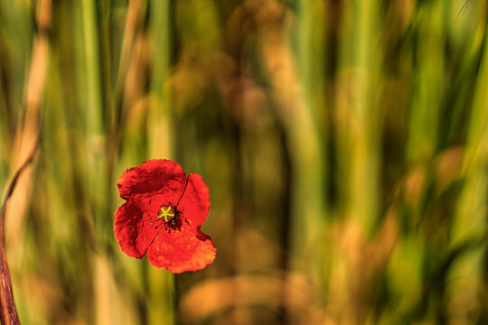 Closeup of a corn poppy in a field with blurry background
