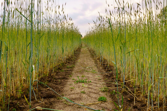 A path dividing a cornfield