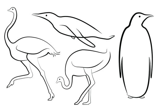 Set of vector non-volant birds. Penguin and ostrich in line drawings. Images in different positions - running, standing, swimming.