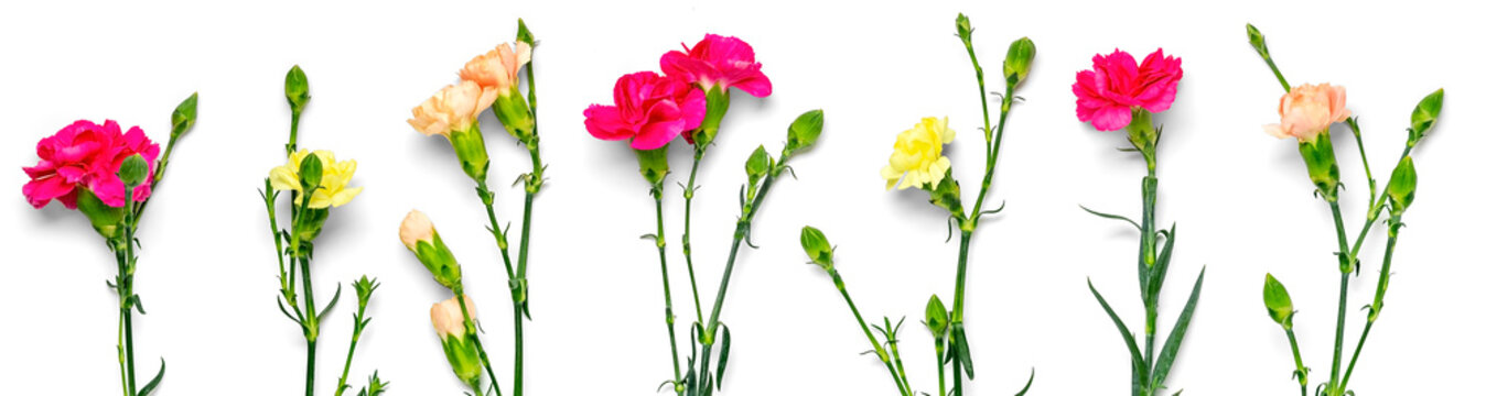 bouquet of pink carnation flower isolated on white background Top view Flat lay Holiday card 8 March, Happy Valentine's day, Mother's, Memorial, Teacher's day concept Banner