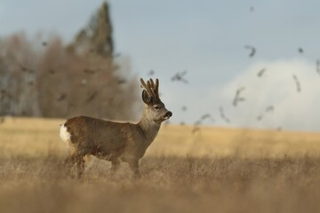 Wildlife scene with deer, Czech. Roe deer, Capreolus capreolus, walking in the grass, in the background a flock of starlings. roe in a natural habitat.