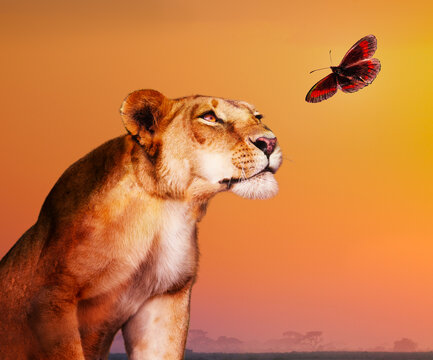 Female lion looking at butterfly over savanna