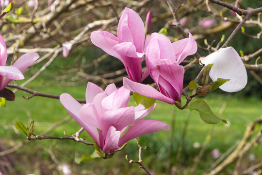 Pink magnolia flowers in a garden during spring