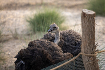 Egyptian Ostrich held in captive conservation programme, Saudi Arabia