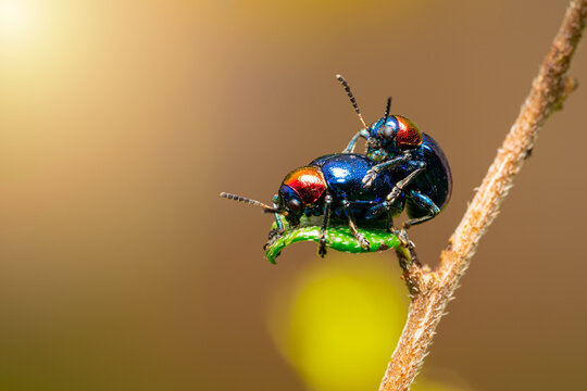The beautiful blue milkweed beetle it has blue wings and a red head perched couple make love on a leaves after rain mating processing in the tropical forest. Close up and Macro photography.