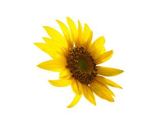 Fototapeta Yellow sunflower right side isolated on white
