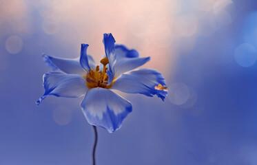 Obraz Kwiat Eustoma. Blue flowers. Piękny niebieski kwiat na niebieskim tle z flarą i efektem bokeh w tle. Wolna przestrzeń - fototapety do salonu