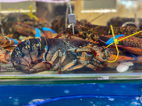 Close up photo of big lobsters in water tank for sale