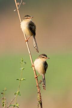 A couple of Plain Prinia perching on a tree stem