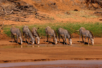Fototapeta Groupe de zèbre de Grevy Equus grevyi Afrique Samburu Kenya