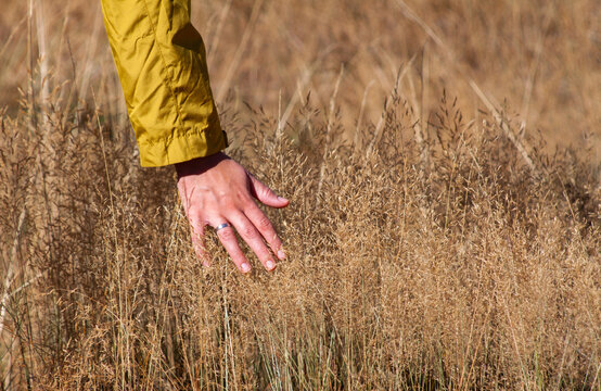 Hand in a yellow coat and a ring touching the crops