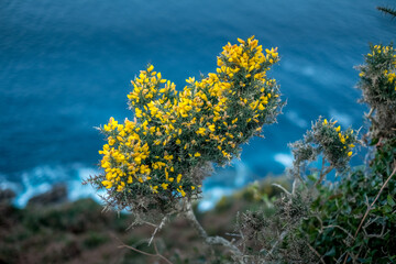Yellow blossoms on the cliff