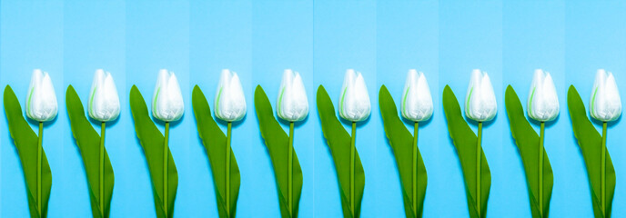 White tulips in a blue rectangle. Repeatable pattern on blue  background with copy space for text. Floral banner. Greeting card with 8 March, mother's day, wedding or birthday. Spring flower concept Wall mural