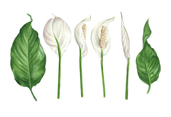 Fototapeta Watercolor illustration of spathiphyllum flowers, buds and leaves. Peace lily floral design elements set.