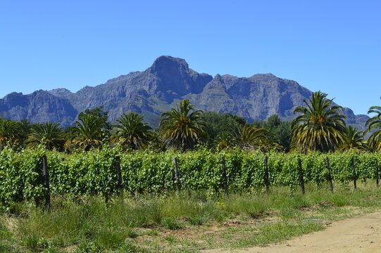 Vineyard, palm trees and mountain