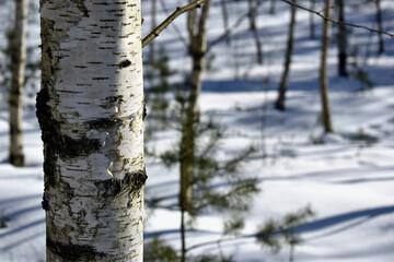 brzoza, śnieg, las, kora, pień, drzewo,