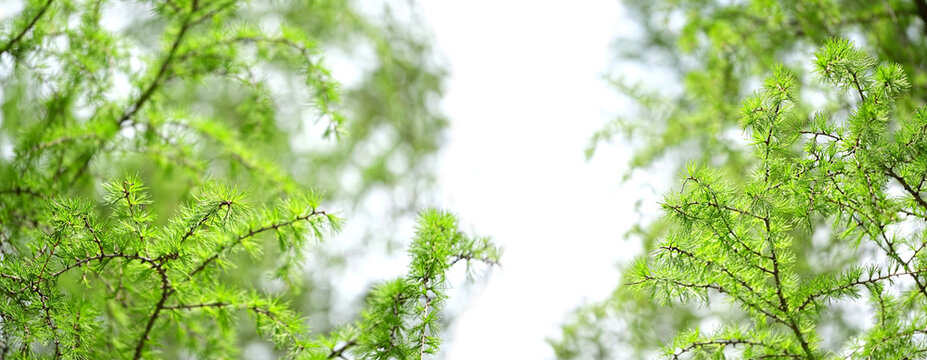 Young fluffy green larch branches of tree Larix decidua, European Larch tree twigs, natural spring background. banner