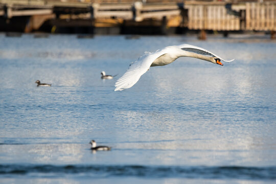 A mute swan flies by a flock of long-tailed ducks at Toronto's Ashbridges Bay Park.