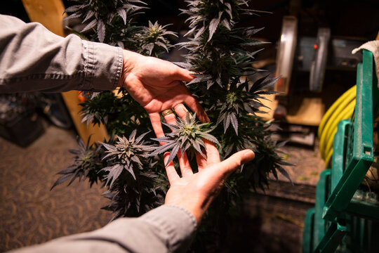 Man holding cannabis plant under ultraviolet light