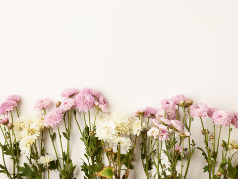 Beautiful small pink and white chrysanthemum flowers background with place for text
