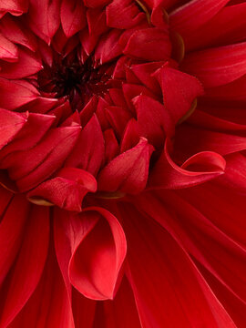 Beautiful red dahlia flower macro shot. Floral background