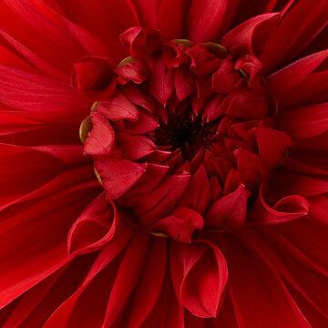 Bright red dahlia flower macro shot