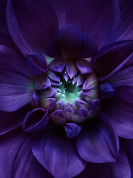 Purple dahlia close up shot. Night abstract color background
