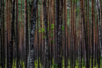 Krajobraz leśny pnie drzew