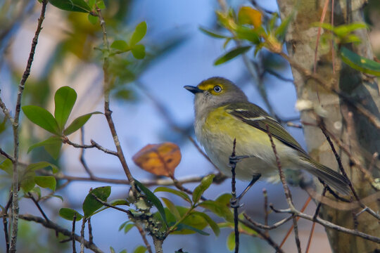 White-eyed Vireo perched on a branch.
