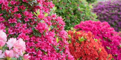 Multicolored azalea flowers in Japanese garden 色とりどりのツツジが満開の日本庭園