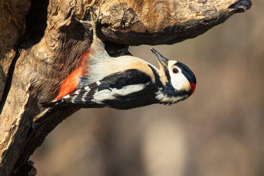 Picchio rosso maggiore maschio su tronco in primavera