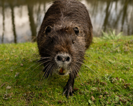 Close-up of a water rat nutria face walking on green grass