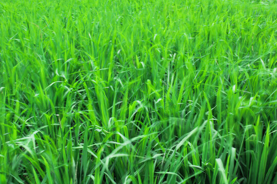 Closeup shot of green grass in the field at daytime