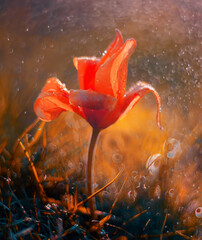 Fototapeta Tulipan czerwony botaniczny