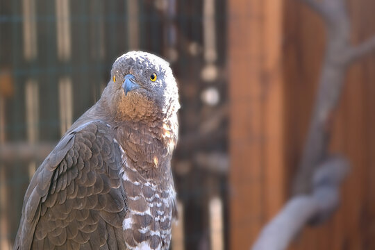 Portrait of a hawk with open yellow eyes and hooked beak on a blurred background on a Sunny spring day. A bird of prey with claws
