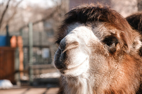 Little camel at the zoo. Smiling camel looks into the camera lens