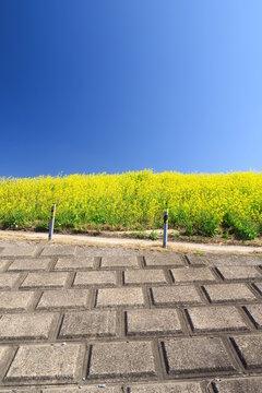 菜の花咲く江戸川護岸と青空