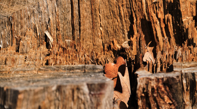 Stump after the loggers in a close-up section of sticking sawdust. Texture of the bark of an old tree is orange. Minimalistic forest background for design or advertising.
