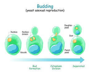 Fototapeta Budding. asexual reproduction of yeast cell