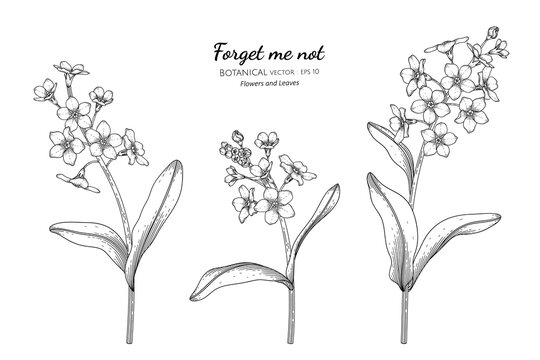 Forget me not flower and leaf hand drawn botanical illustration with line art.
